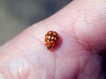 Ladybug на пальце Стоковые Фото