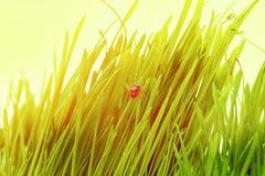 Ladybug на свежих зеленых изолированных лист желтый цвет весны лужка одуванчиков предпосылки полный Стоковые Изображения RF