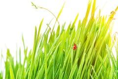 Ladybug на свежих зеленых изолированных лист желтый цвет весны лужка одуванчиков предпосылки полный Стоковое Изображение RF