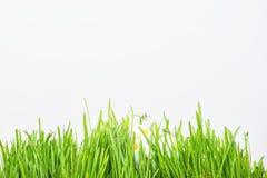 Ladybug на свежих зеленых изолированных лист желтый цвет весны лужка одуванчиков предпосылки полный Стоковое Изображение