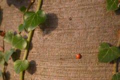 Ladybug на стволе дерева Стоковое Изображение