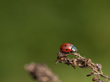 Ladybug на сухих семенах Стоковое Фото