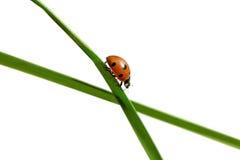 Ladybug на траве. Стоковое Изображение