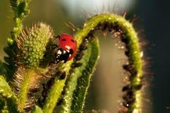 Ladybug на ухе зерна 3 Стоковое Фото