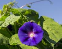 Ladybug на фиолетовой славе утра Стоковые Фото
