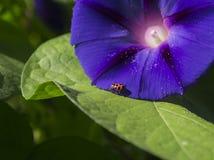 Ladybug на фиолетовой славе утра Стоковое Фото
