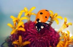 Ladybug на цветках стоковое изображение