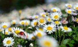Ladybug на цветке маргаритки Стоковые Изображения RF