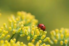 Ladybug на цветке фенхеля Стоковые Фотографии RF