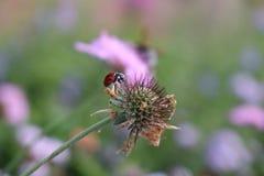 Ladybug на цветке Стоковая Фотография