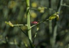 Ladybug на черенок брокколи Стоковые Изображения
