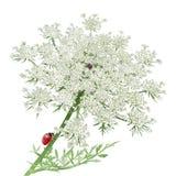 Ladybug на шнурке ферзя Энн Стоковые Изображения RF