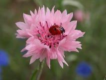 Ladybug на cornflower Стоковые Изображения RF