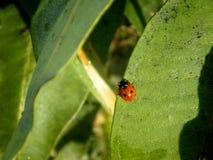 Ladybug отдыхая в солнце Стоковые Изображения RF