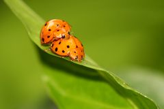 ladybug пар Стоковое Изображение RF