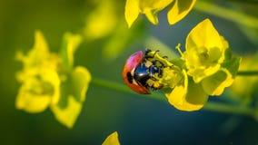 Ladybug подавая на цветне Стоковое Изображение RF