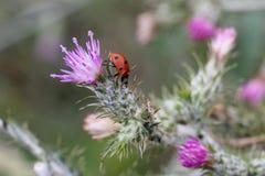 Ladybug проползает на заводе стоковое изображение