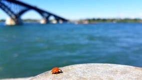 Ladybug рекой видеоматериал