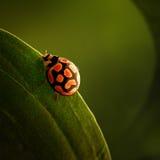 Ladybug садить на насест на зеленых лист Стоковые Изображения