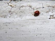 Ladybug сверху стоковое изображение