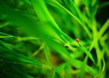 Ladybug сидя на зеленых лист, предпосылка, схематически Стоковые Изображения