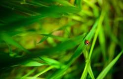 Ladybug сидя на зеленых лист, предпосылка, схематически Стоковая Фотография RF