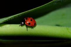 Ladybug сидя на цветках Стоковое Изображение