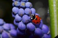 Ladybug сидя на цветках Стоковые Изображения RF