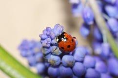 Ladybug сидя на цветках стоковая фотография rf