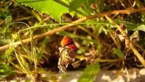Ladybug сопрягая в природе стоковая фотография rf