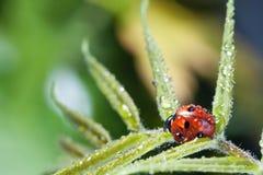 Ladybug с лист зеленого цвета падения воды стоковые фотографии rf