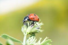 Ladybug с фиолетовым цветком Стоковая Фотография RF