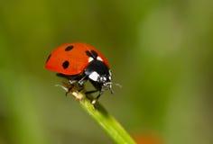 ladybug травы Стоковое Изображение
