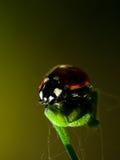 Ladybug хеллоуина Стоковая Фотография RF