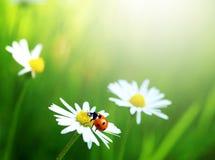 ladybug цветка маргаритки стоковые фотографии rf