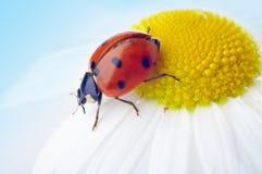 ladybug цветка стоцвета Стоковое Фото