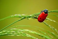 Ladybug. A Ladybug / Ladybird clinging to some grass Stock Photography