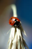 Ladybug. Close-up of ladybug on wheats ear Royalty Free Stock Photography
