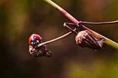LadyBug [02] Fotografie Stock Libere da Diritti