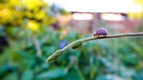 LadyBug [02] Imagem de Stock Royalty Free