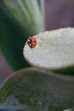 Ladybug. On a leaf covered with dew in the morning Stock Image