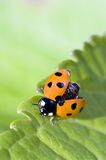 Ladybug. Unfolding wings ready for takeoff Stock Photos
