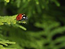 Ladybug. Red ladybug on green grass stock photo