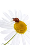 Ladybug. Ladybird on a daisy over white background. A close up Stock Images