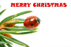 ladybug Стоковая Фотография