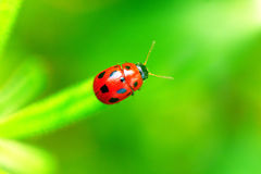 Ladybug. Sitting on a green leaf Royalty Free Stock Images