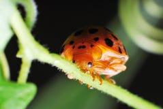LadyBug Imágenes de archivo libres de regalías