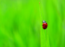 Ladybug. Insect ladybug sits to blade of grass Stock Image