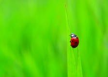 Ladybug Stock Image
