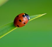 Ladybug. Macro of a ladybug sitting on iris leaf, shallow depth of field Royalty Free Stock Photography